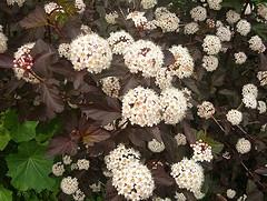 Physocarpus opulifolius 'Diabolo' Ninebark.jpg