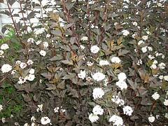 Physocarpus opulifolius 'Summer Wine' Ninebark.jpg
