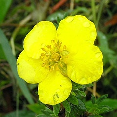 Potentilla fruticosa 'Gold Star.jpg