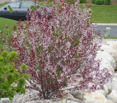 'Purpleleaf Sand Cherry'.jpg