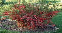 Flowering Quince Shrub.jpg