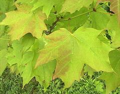 Acer-saccharum-Sugar-Maple-leaves.jpg