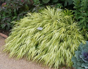 Zone 5 Ornamental Grasses Midwest gardening best perennial ornamental grass hakone grass aureola by midwest gardeningg workwithnaturefo