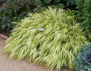 Hakone Grass 'Aureola' by Midwest Gardening.jpg