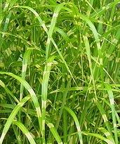 Strictus Porcupine Grass