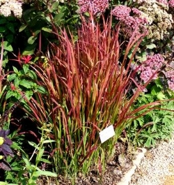 Zone 5 Ornamental Grasses Midwest gardening best perennial ornamental grass red baron japanese blood grass workwithnaturefo