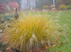Hemeln Fountain Grass Penniseturn alopecuroide