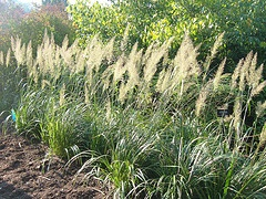 Calamagrotstis brachytrica Korean Feather Reed Grass