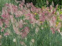 Pennisetum 'Phoenix Magenta' Grass