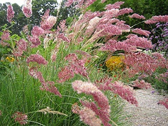 Pink paintbrush grass Melinis nerviglumis 'Savannah'