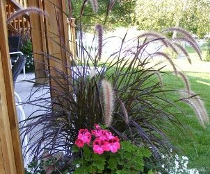 Annual Ornamental Grasses Midwest gardening best annual ornamental grass rubrum purple fountain grass by midwest gardeningg workwithnaturefo