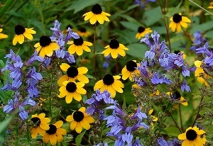 Rudbeckia triloba by Peter Gorman.jpg