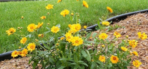 Midwest gardening hardy perennials with a long bloom period and jethro tull coreopsis by midwest gardeningg mightylinksfo