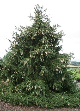 picea abies acrocona Norway Spruce by Gardening in a Minute1.jpg