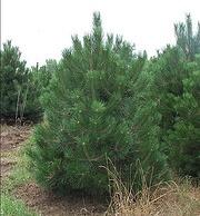 Austrian Pine.jpg
