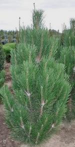 Austrian Pine Arnold Sentinal.jpg