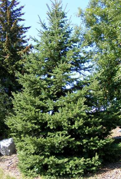 Picea glauca var densata Black Hills Spruce by Midwest Gardening.jpg
