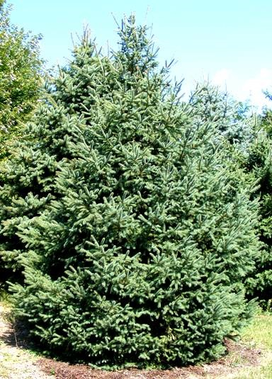 Picea pungens Colorado Blue Spruce by Midwest Gardening.jpg