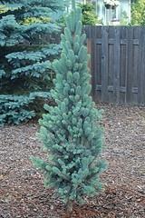 Columnar Blue Spruce.jpg