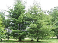 Eastern White Pine 2.jpg