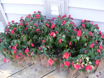 heat stressed annuals by Midwest Gardening.jpg