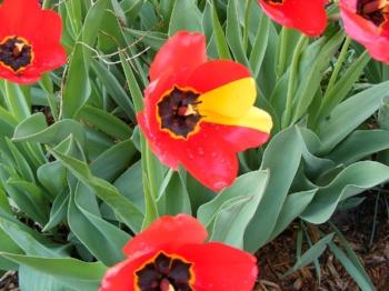 mutant tulip by Midwest Gardening.jpg