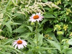 Echinacea purpurea Coneflower by Midwest Gardening.JPG