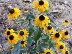 Rudbeckia fulgida 'Early Bird Gold' by Midwest Gardening.jpg