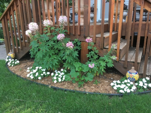 Annual Placeholders - The anemone did not survive the harsh winter so more cleome annuals until I select new perennials