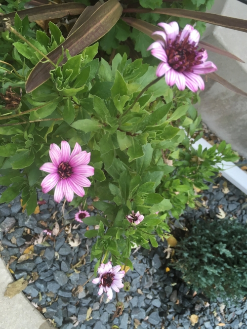 Annual Osteospermum - This prolific bloomer has been going strong since spring with no intention of giving up now!