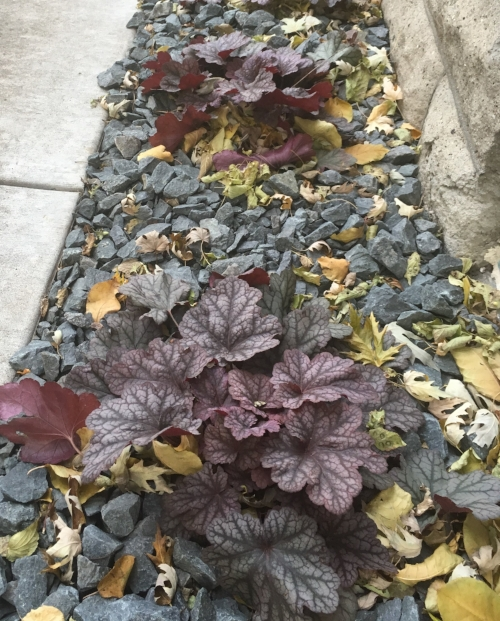 Heuchera - All my Coral Bells are as fresh as they were in spring