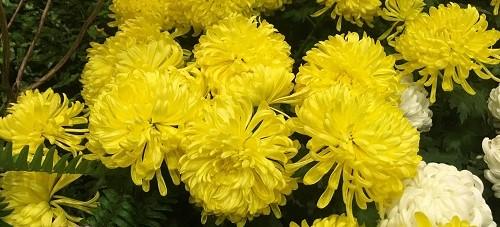 Chrysanthemumsi by Midwest Gardening.jpg