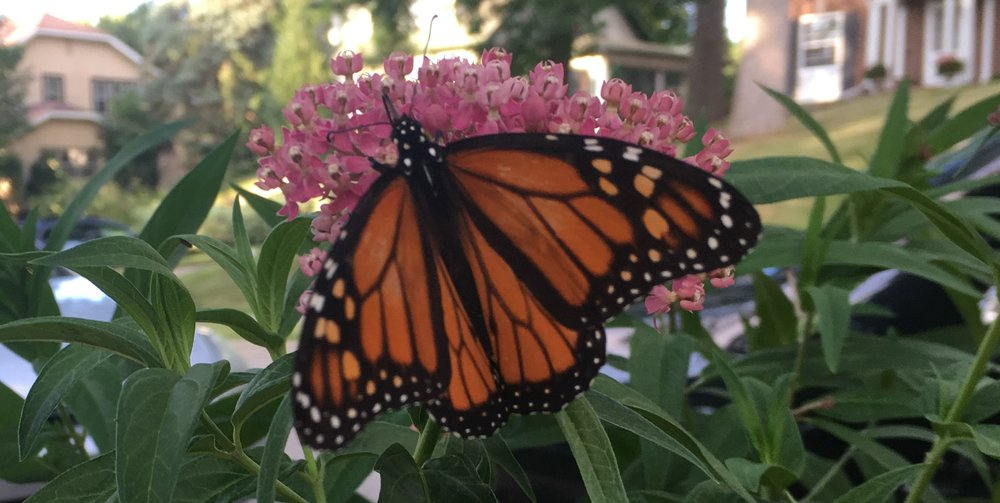 Monarch by Midwest Gardening.jpg