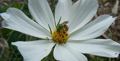 Pollinating a cosmos by Midwest Gardening.jpg