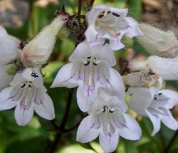 Tubular Penstemon by Midwest Gardening.jpg