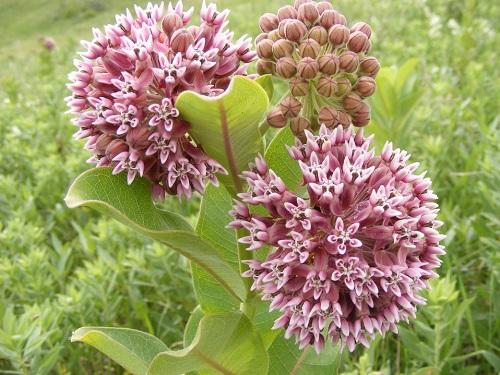 Common Milkweed.jpg