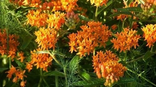 Butterfly Weed blooms.jpg