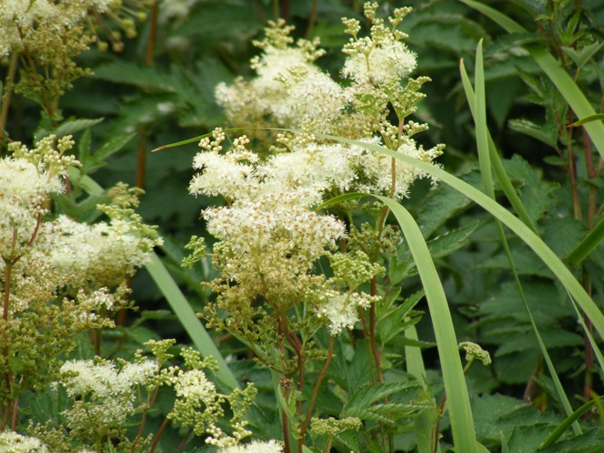 Filipendula ulmaria Queen of the Meadow by Midwest Gardening.JPG