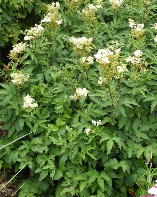 Filipendula ulmaria Queen of the Meadow by Midwest Gardening,.JPG
