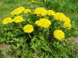 Dandelion - Soil is poor, compacted, low in calcium, high in potassium