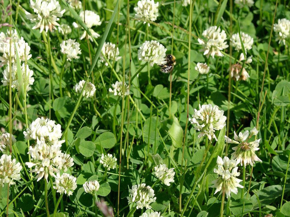 White Clover - Soil may be moist and low nitrogen.