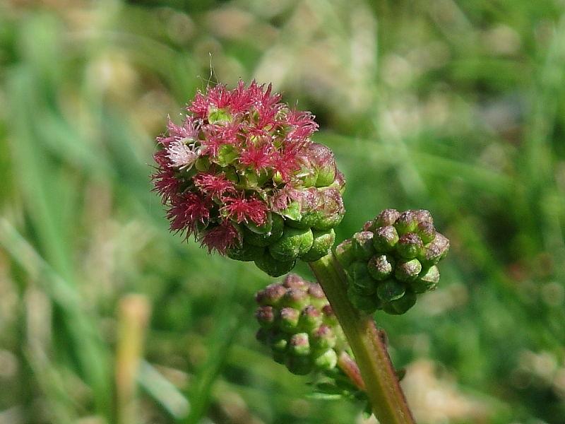 Salad Burnet - Sanguisorba minor