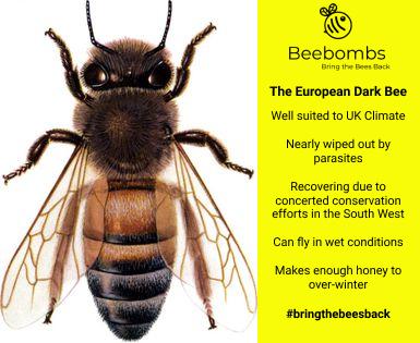 European Black Bee.jpg