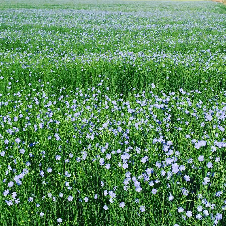 flax 1.jpg