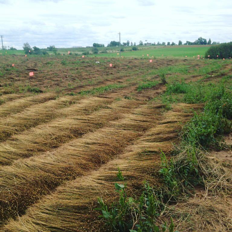 flax 3.jpg