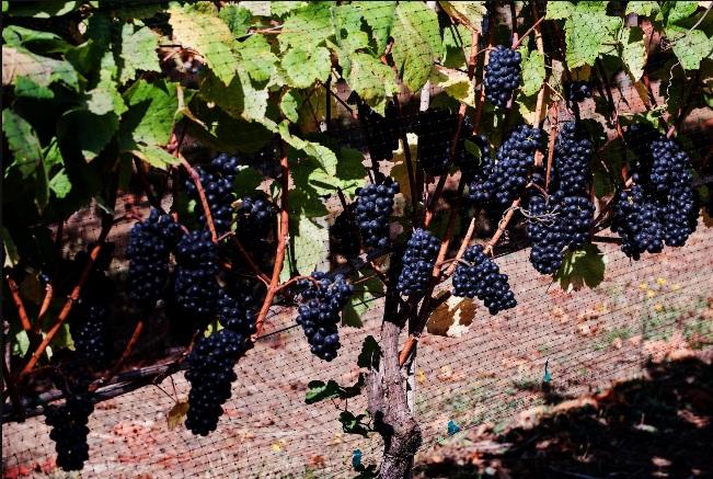 Hanson Vineyards