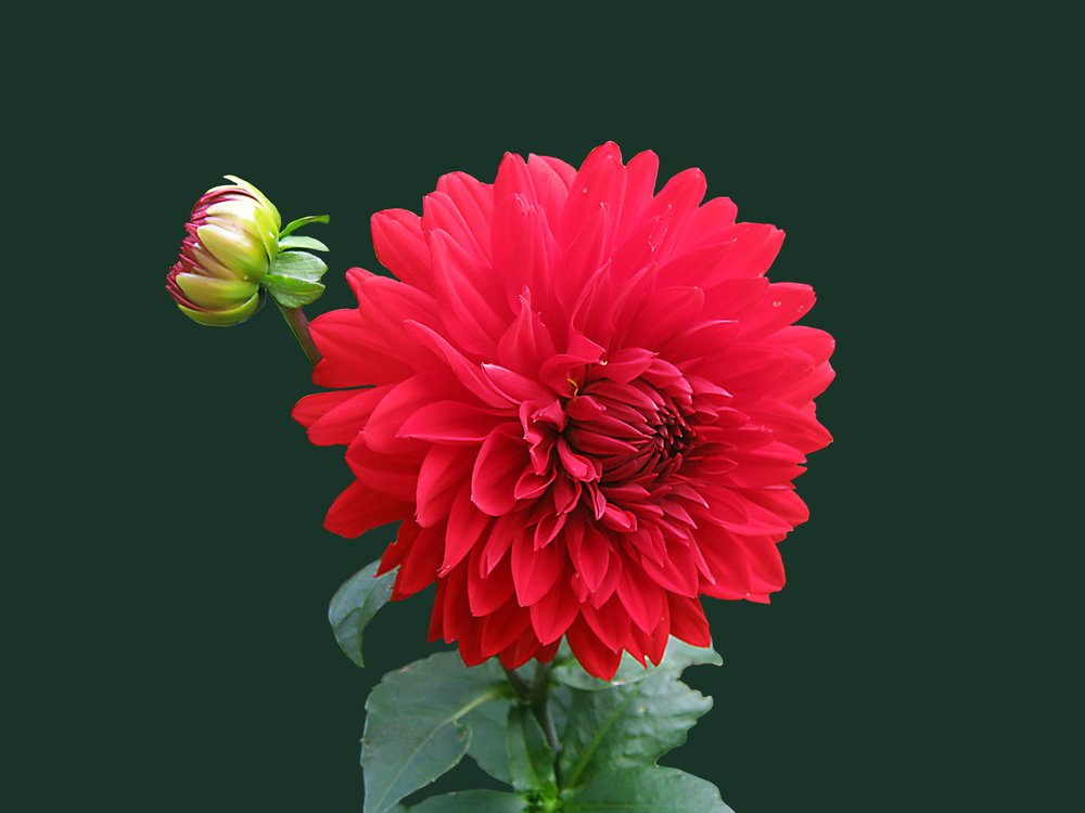 dahlia-red-blossom-bloom-60597.jpeg