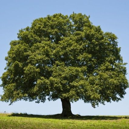 oak-tree-full-425x425.jpg