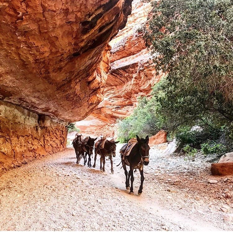 Follow the leader and keeping it together thanks to the caboose! If pack animals can get it right, we should be able to get it right too! This photo was taken on my descent down to Havasupai Falls. It was a truly magical moment to capture.