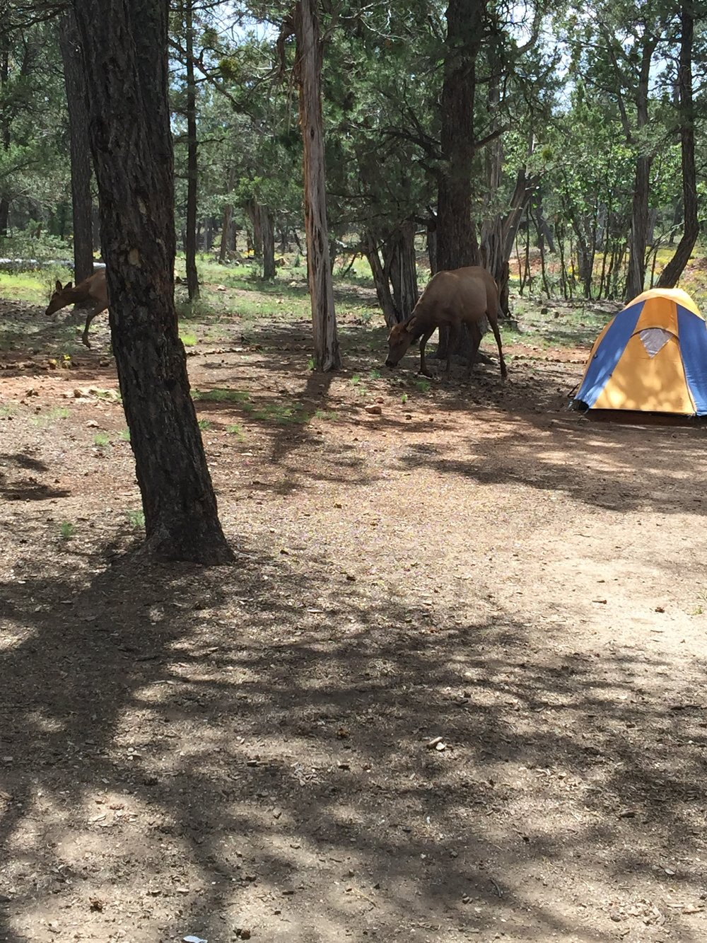 Camping in Grand Canyon National Park. Don't mind the Elk.
